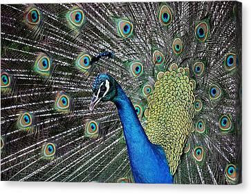 Pretty As A Peacock Canvas Print by Paulette Thomas