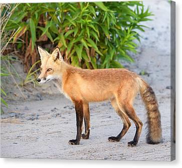 Pretty Fox On The Beach Canvas Print