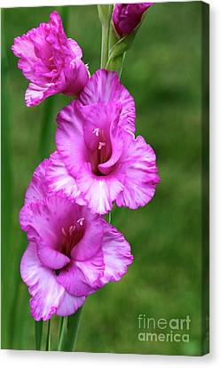 Pretty Gladiolus Canvas Print