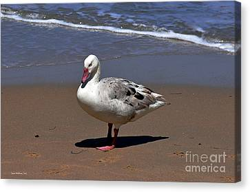 Canvas Print featuring the photograph Pretty Goose Posing On Monterey Beach by Susan Wiedmann