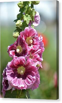 Pretty Hollyhock Flowers Canvas Print by P S