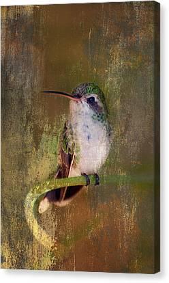 Pretty Hummer Canvas Print by Barbara Manis