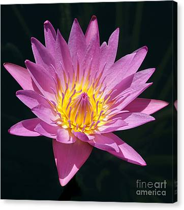 Florida Flowers Canvas Print - Pretty In Pink And Yellow Water Lily by Sabrina L Ryan