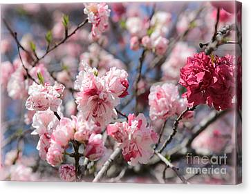 Pretty In Pink Canvas Print by Carol Groenen