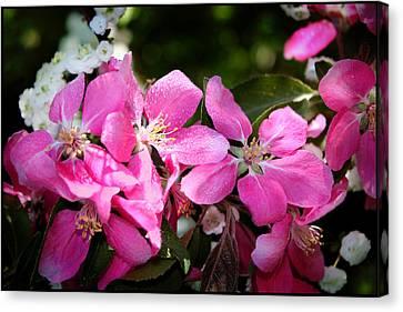 Pretty In Pink Iv Canvas Print by Aya Murrells
