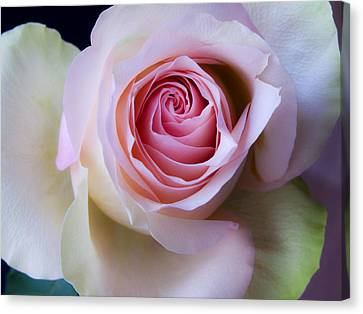 Pretty In Pink - Roses Macro Flowers Fine Art  Photography Canvas Print