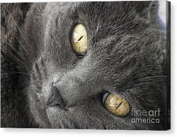 Pretty Kitty Eyes Canvas Print by Darleen Stry