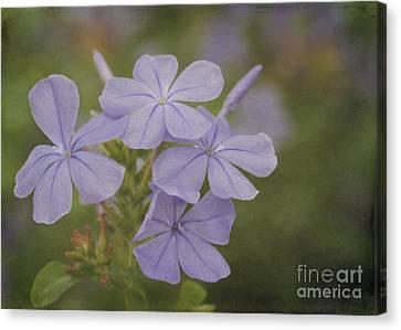 Florida Flowers Canvas Print - Pretty Lavendar Plumbago Flowers by Sabrina L Ryan