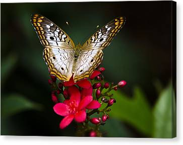 Pretty Little Butterfly  Canvas Print by Saija  Lehtonen