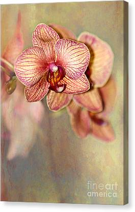 Pretty Peach Phalaenopsis Orchids Canvas Print