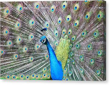 Canvas Print featuring the photograph Pretty Peacock by Elizabeth Budd