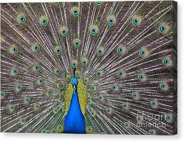 Pretty Peacock Canvas Print by P S