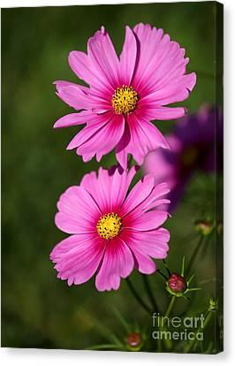 Pretty Pink Cosmos Twins Canvas Print