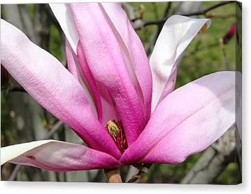 Pretty Pink Magnolia Canvas Print by Judy Palkimas