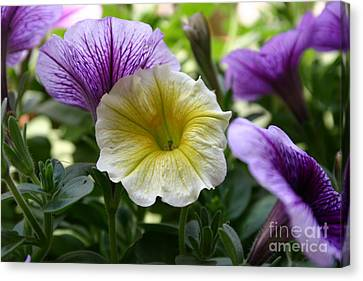 Pretty Yellow And Purple Petunias Canvas Print by D Wallace