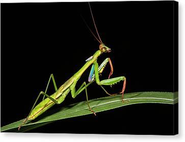 Preying Mantis, Odzala, Kokoua National Canvas Print by Pete Oxford