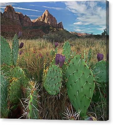 Zion National Park Canvas Print - Prickly Pear At Zion National Park, Utah by Tim Fitzharris