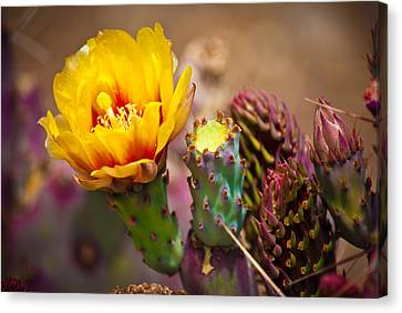 Prickly Pear Cactus Canvas Print by Swift Family