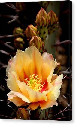Prickly Pear Canvas Print by Joe Kozlowski