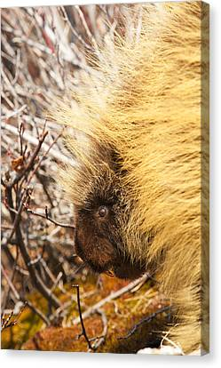 Alaska Canvas Print - Prickly Pete 2 by Ted Raynor
