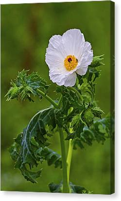 Prickly Poppy Canvas Print by Gary Holmes