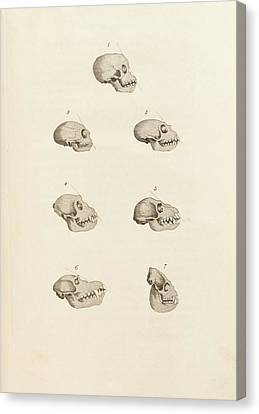 Mandrill Canvas Print - Primate Skulls by King's College London