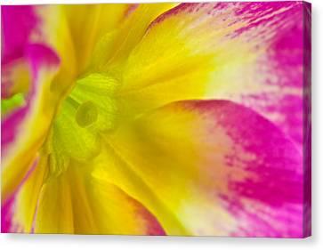Primrose Glow Canvas Print by Joan Herwig