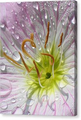 Primrose Canvas Print by Jennifer Wheatley Wolf
