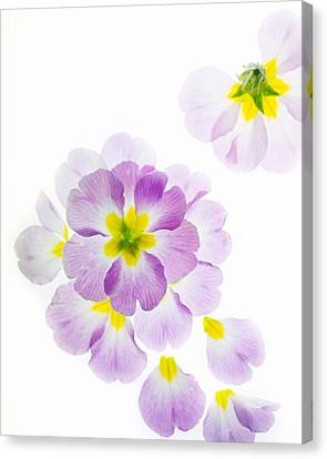 Pink Primroses Canvas Print - Primrose Petals 2 by Rebecca Cozart