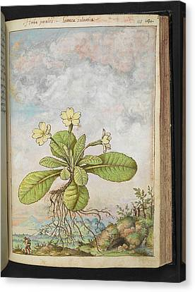 Primrose (primula Vulgaris) Canvas Print by British Library