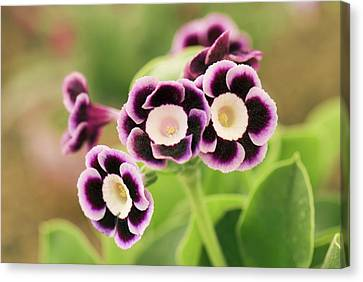 Primula Auricula 'lila' Flowers Canvas Print by Adrian Thomas