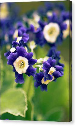 Primula Auricula 'old Irish Blue' Flowers Canvas Print by Adrian Thomas