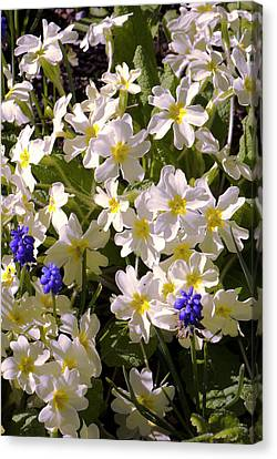 Primula 'mcwatt's Cream' Flowers Canvas Print by Adrian Thomas