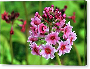 Primula Pulverulenta 'bartley' Flowers Canvas Print by Colin Varndell