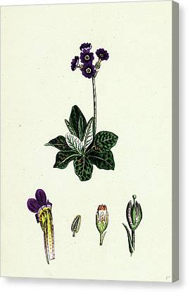 Primula Scotica Scottish Birds-eye Primrose Canvas Print