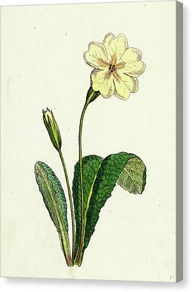 Primula Vulgaris Common Primrose Canvas Print