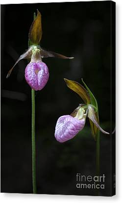 Prince Edward Island Lady Slippers Canvas Print