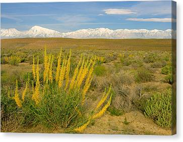 Princes Plume And Mount Tom - Spring Wildflowers Owens Valley Eastern Sierra California Canvas Print