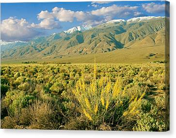 Canvas Print featuring the photograph Princes Plume And White Mountains - Owens Valley California by Ram Vasudev
