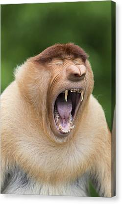 Proboscis Monkey Dominant Male Yawning Canvas Print by Suzi Eszterhas