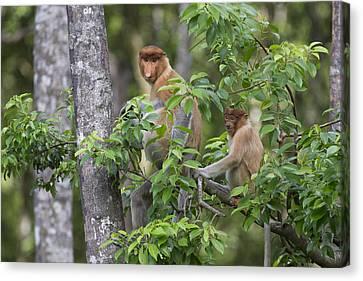 Proboscis Monkey Mother And Juvenile Canvas Print