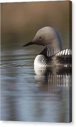 Profile Of A Pacific Loon Canvas Print by Tim Grams