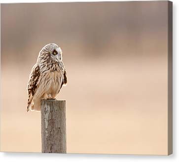 Profile Of A Short-eared Owl 1 Canvas Print by Timothy McIntyre