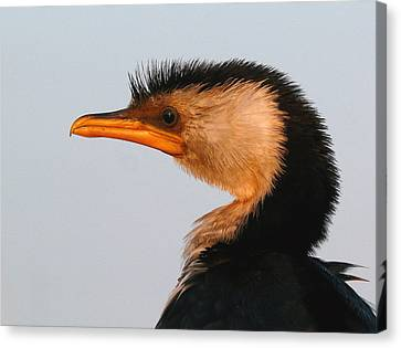 Profile Of A Young Cormorant Canvas Print