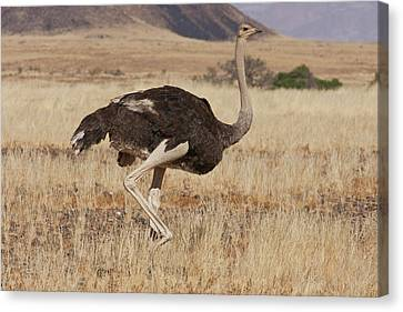Profile Of Walking Ostrich, Namib Canvas Print by Jaynes Gallery