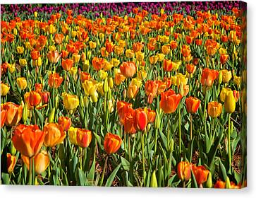 Profusion Of Tulips Biltmore Estate Nc Canvas Print