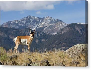 Pronghorn Antelope Buck, Electric Peak Canvas Print by Ken Archer