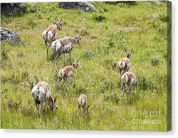 Pronghorn Antelope In Lamar Valley Canvas Print by Belinda Greb
