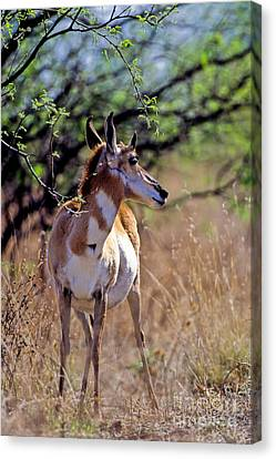 Pronghorn In Spring Canvas Print