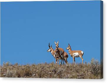 Pronghorn On Hilltop Canvas Print by Tom Norring